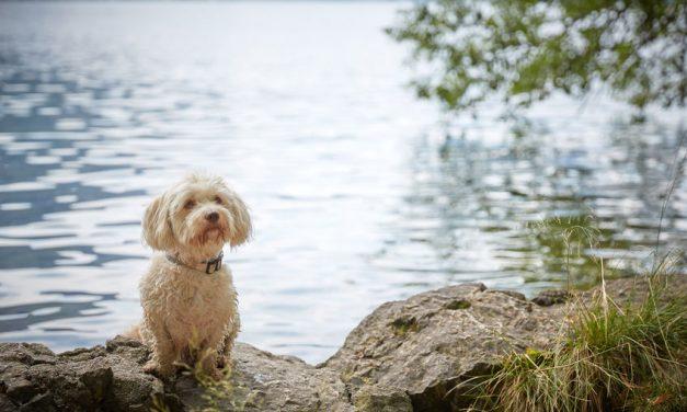 Can Havanese Dogs Swim?