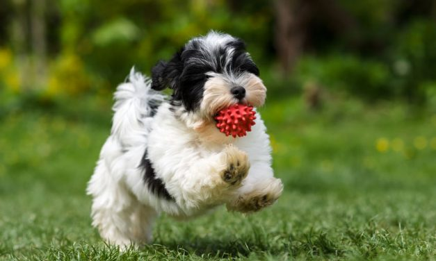 Are Havanese Dogs Good with Kids?
