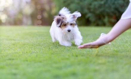 Are Havanese Dogs Easy To Train?