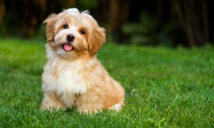 Are Havanese Dogs Hypoallergenic?