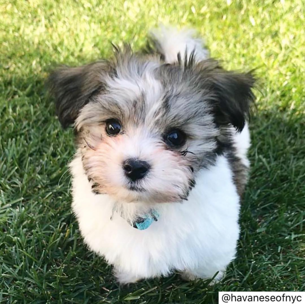 Do Havanese Shed - Are Havanese Dogs Hypoallergenic?