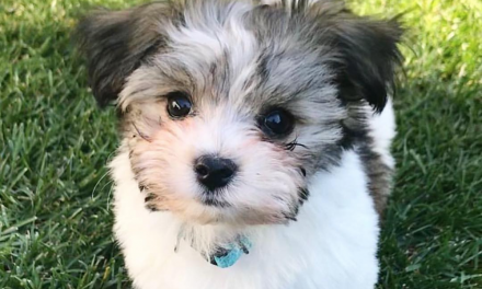 Are Havanese Dogs Aggressive?