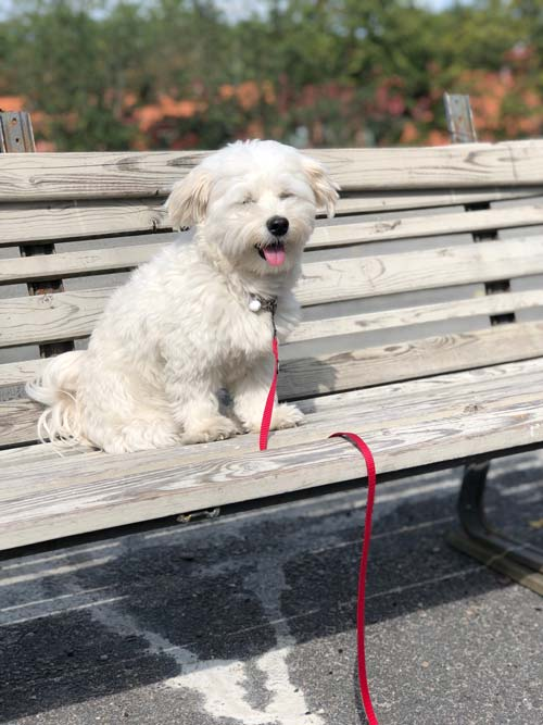 Picture of Bichon Havanese
