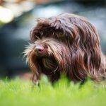 Are Havanese Dogs High Maintenance?