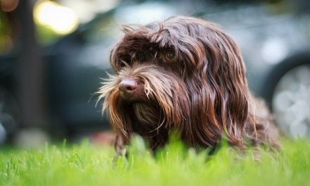 Are Havanese Dogs High Maintenance?