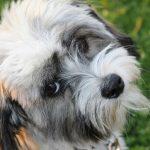 Do Havanese Dogs Bark a Lot?