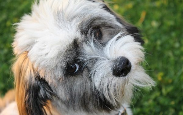 Do Havanese Dogs Bark a Lot?