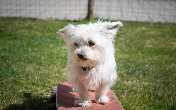 How Big Do Havanese Dogs Get?