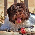 How Long Do Havanese Dogs Live