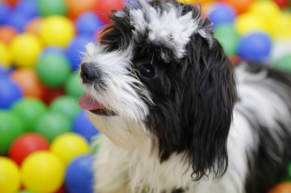 How much does it cost to buy a havanese dog?