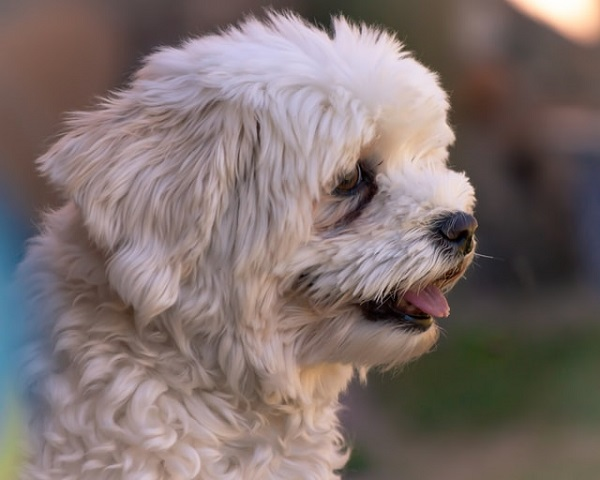 Which is better male or female Havanese?