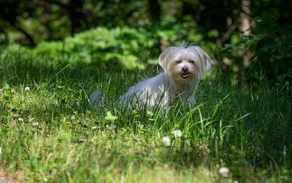 Are Havanese Hard to Potty Train?